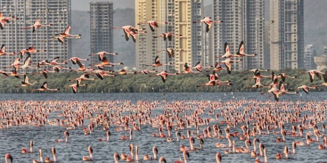 Flamingos in Mumbai